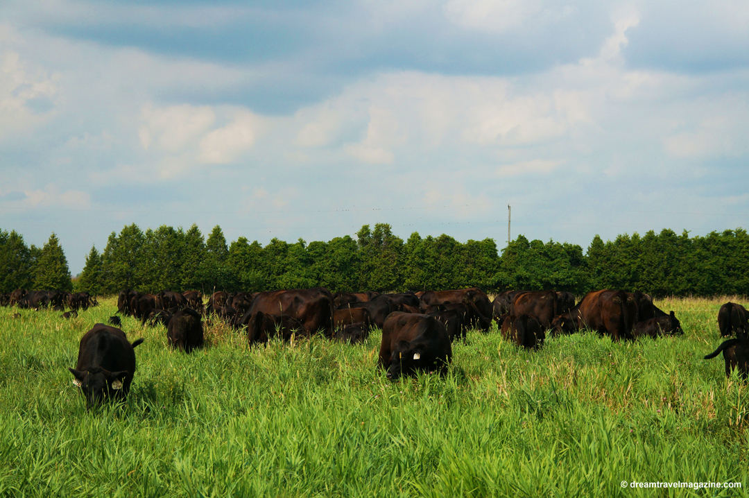 Chatham Kent farm with beef cattle.